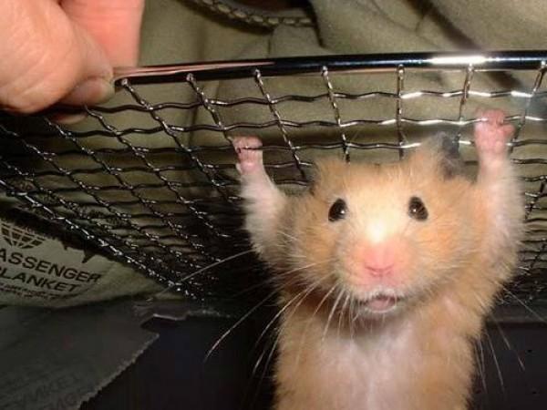 strong-hamster-small-e1276630291507